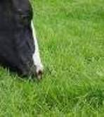 CUT AND GRAZE GRASS SEED